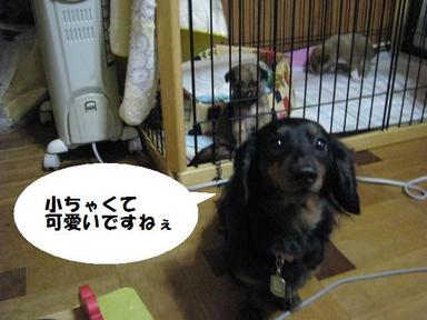 Img_2652chibispuri2
